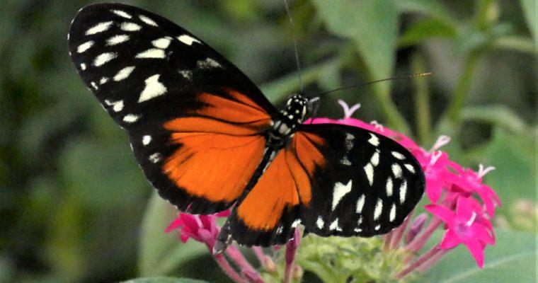 Mitä yhteistä on perhosilla ja ihmisillä?
